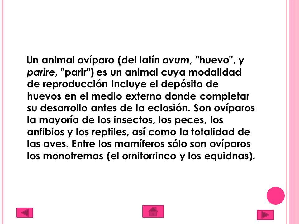 Un animal ovíparo (del latín ovum,