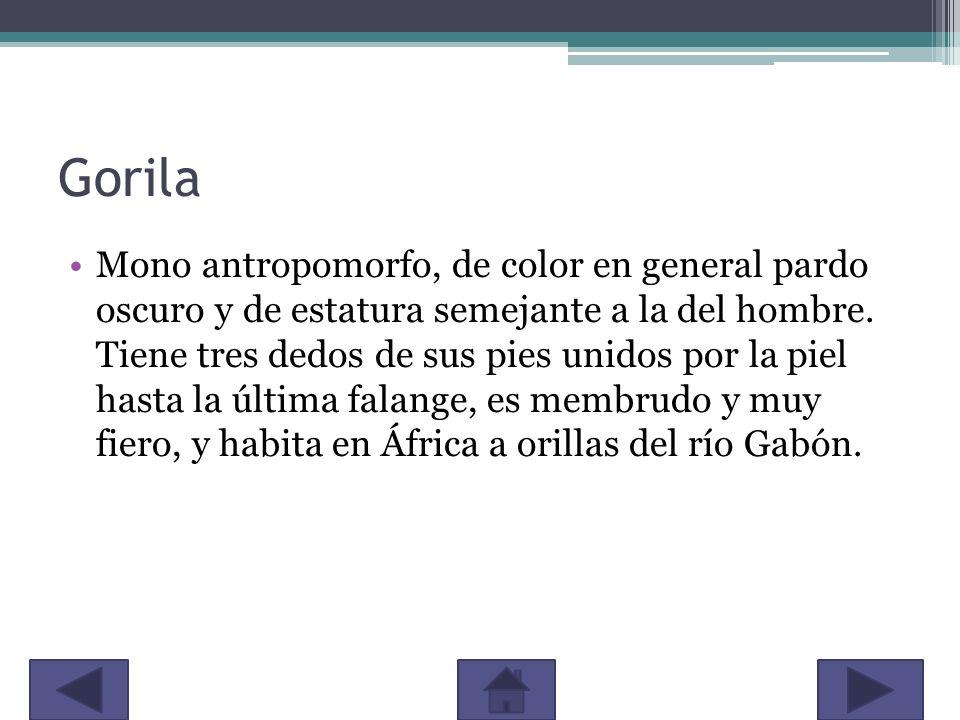 Gorila Mono antropomorfo, de color en general pardo oscuro y de estatura semejante a la del hombre. Tiene tres dedos de sus pies unidos por la piel ha