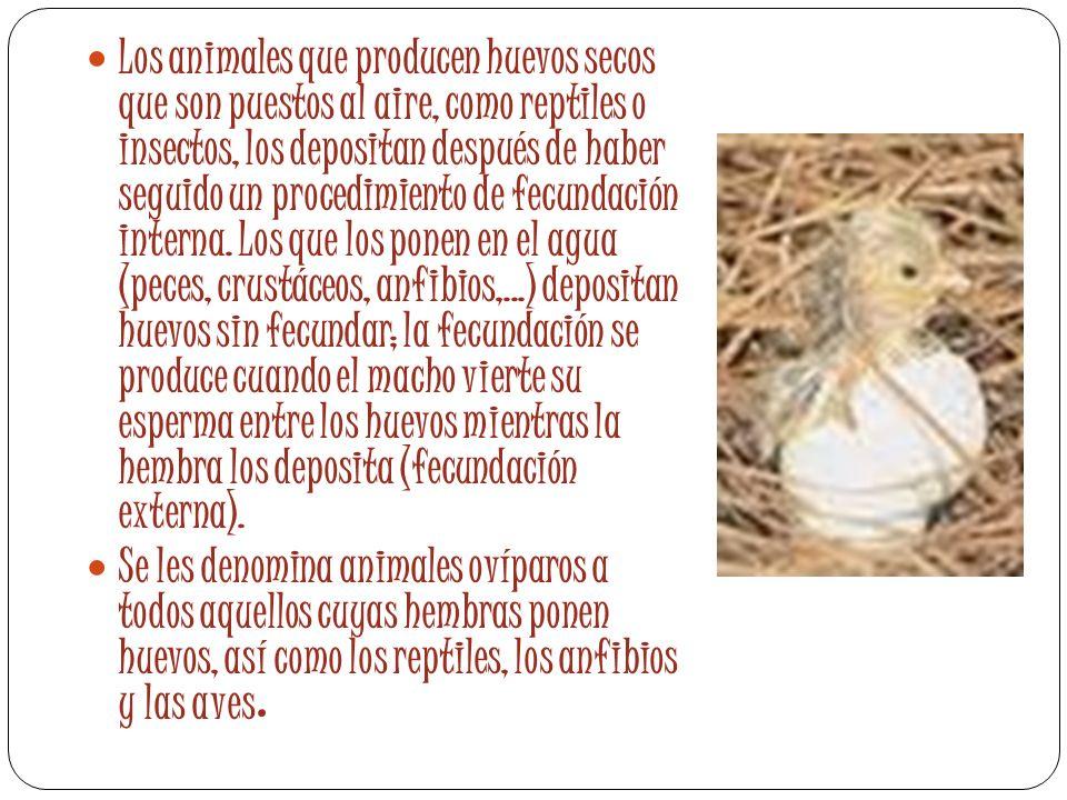 Los animales que producen huevos secos que son puestos al aire, como reptiles o insectos, los depositan después de haber seguido un procedimiento de f