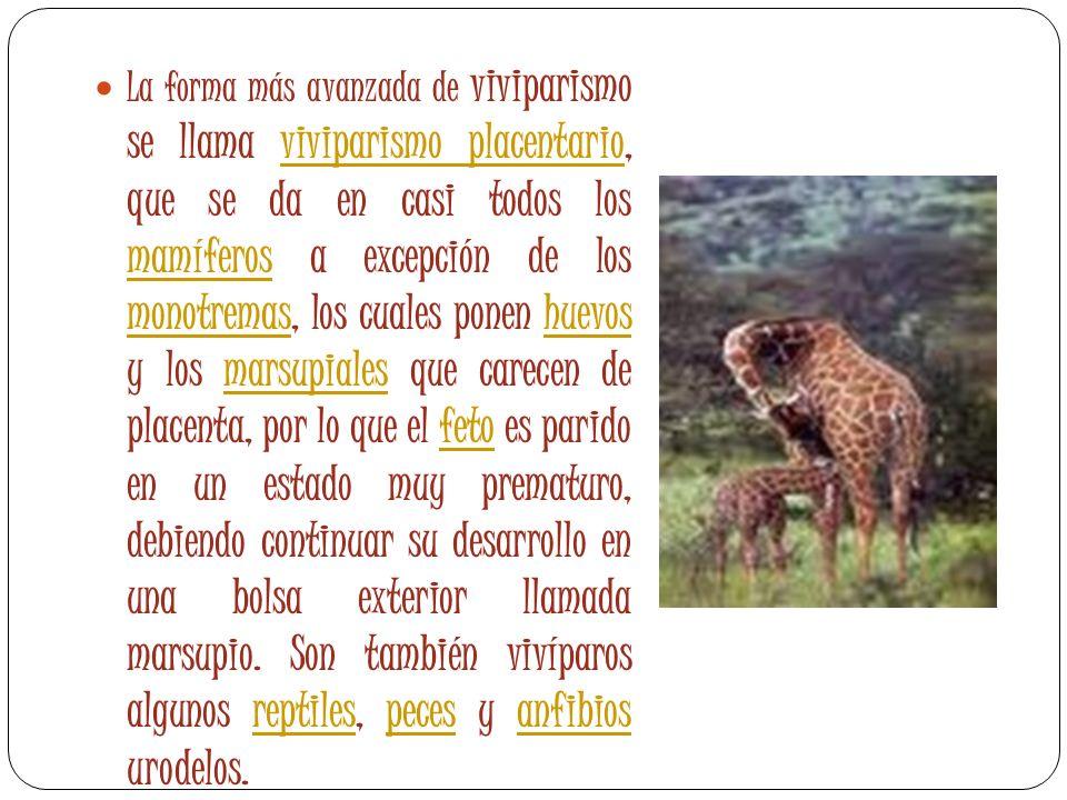 La forma más avanzada de viviparismo se llama viviparismo placentario, que se da en casi todos los mamíferos a excepción de los monotremas, los cuales
