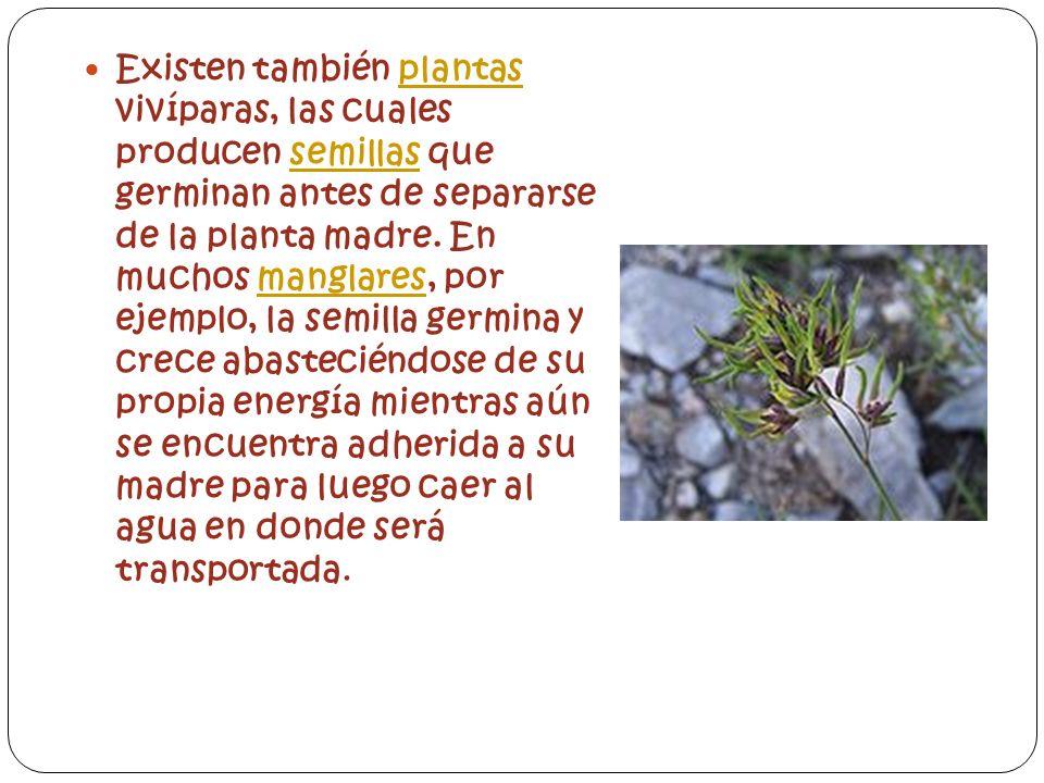 Existen también plantas vivíparas, las cuales producen semillas que germinan antes de separarse de la planta madre. En muchos manglares, por ejemplo,