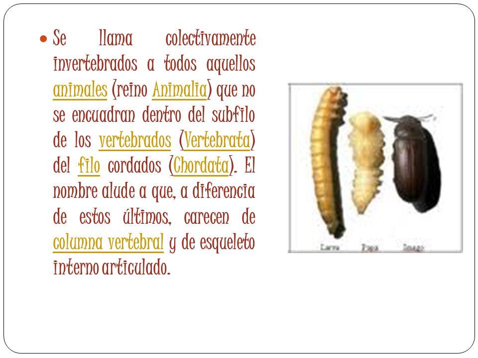 Se llama colectivamente invertebrados a todos aquellos animales (reino Animalia) que no se encuadran dentro del subfilo de los vertebrados (Vertebrata