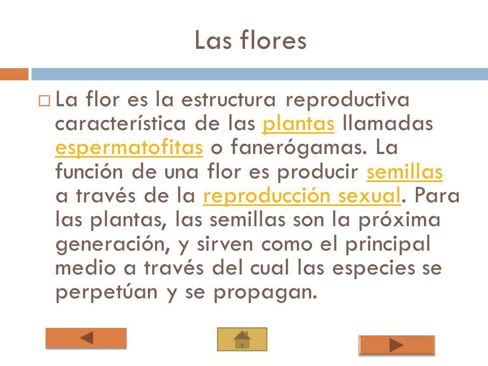 Las flores La flor es la estructura reproductiva característica de las plantas llamadas espermatofitas o fanerógamas. La función de una flor es produc