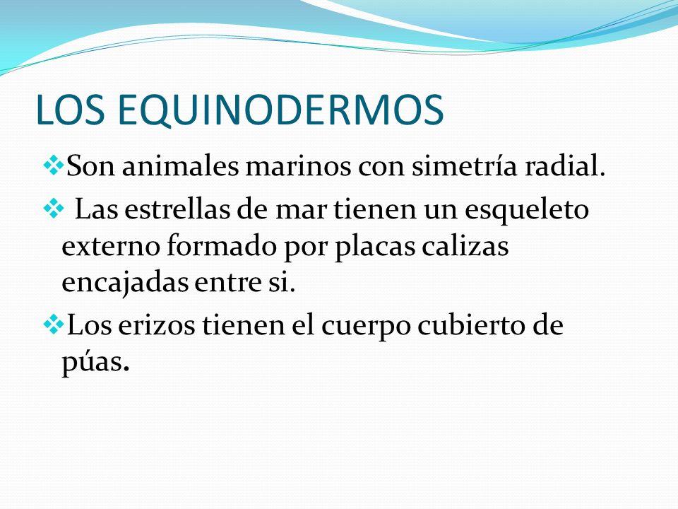 LOS EQUINODERMOS Son animales marinos con simetría radial. Las estrellas de mar tienen un esqueleto externo formado por placas calizas encajadas entre