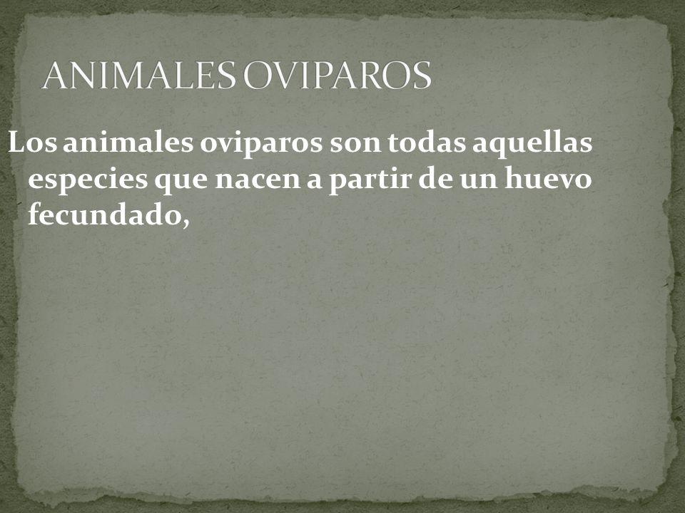 Los animales oviparos son todas aquellas especies que nacen a partir de un huevo fecundado,