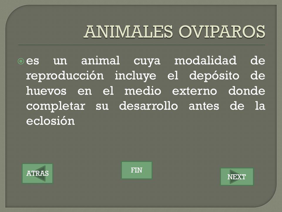 ATRAS NEXT FIN es un animal cuya modalidad de reproducción incluye el depósito de huevos en el medio externo donde completar su desarrollo antes de la