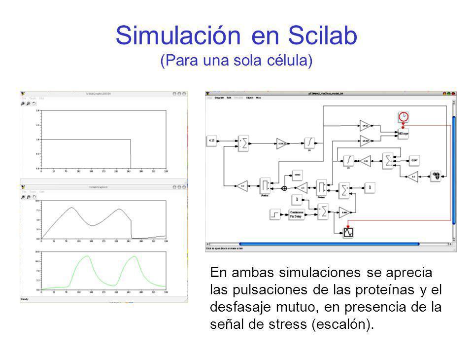 Simulación en Scilab (Para una sola célula) En ambas simulaciones se aprecia las pulsaciones de las proteínas y el desfasaje mutuo, en presencia de la