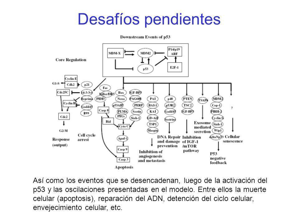 Desafíos pendientes Así como los eventos que se desencadenan, luego de la activación del p53 y las oscilaciones presentadas en el modelo. Entre ellos