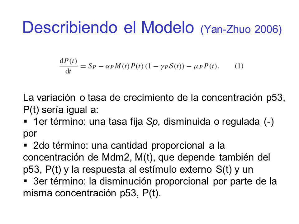 La tasa de aumento de la concentración de la proteína Mdm2 es igual a: 1er término: una tasa fija S M, sumado con un 2do término: una cantidad (t) que depende de la concentración p53 pero con un retardo o delay (descrito en la siguiente diapositiva), y un 3er término: que disminuye proporcionalmente a su misma concentración.
