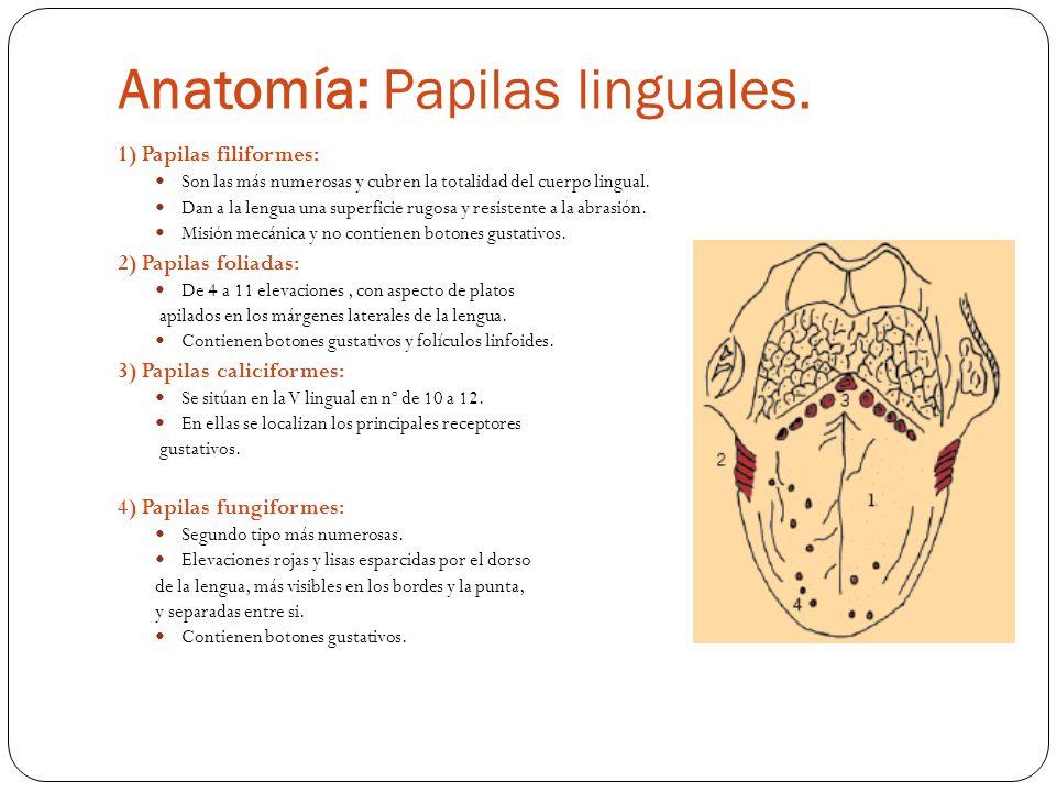 Papilitis Foliada: Hipertrofia de las papilas foliadas.