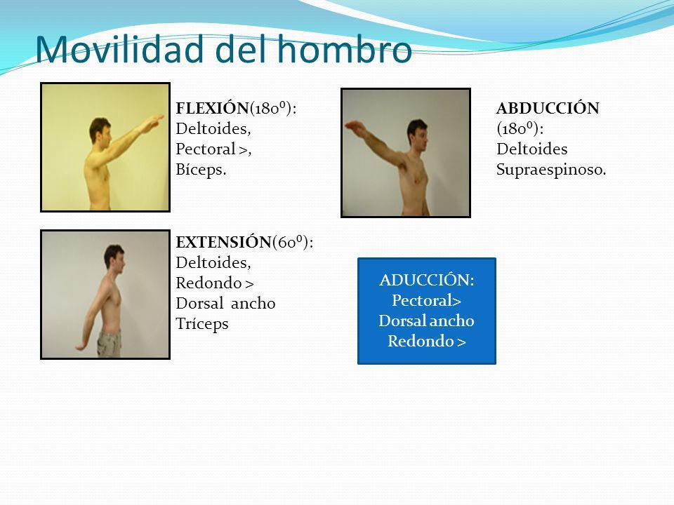 Movilidad del hombro FLEXIÓN(180): Deltoides, Pectoral >, Bíceps.