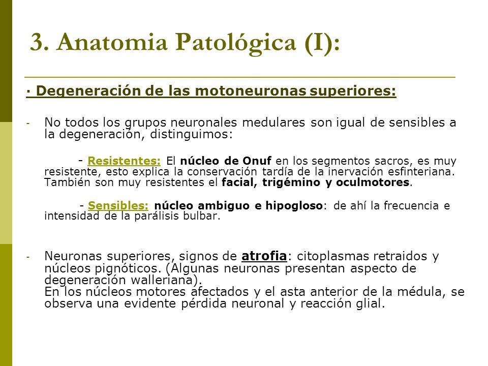 3. Anatomia Patológica (I): · Degeneración de las motoneuronas superiores: - No todos los grupos neuronales medulares son igual de sensibles a la dege
