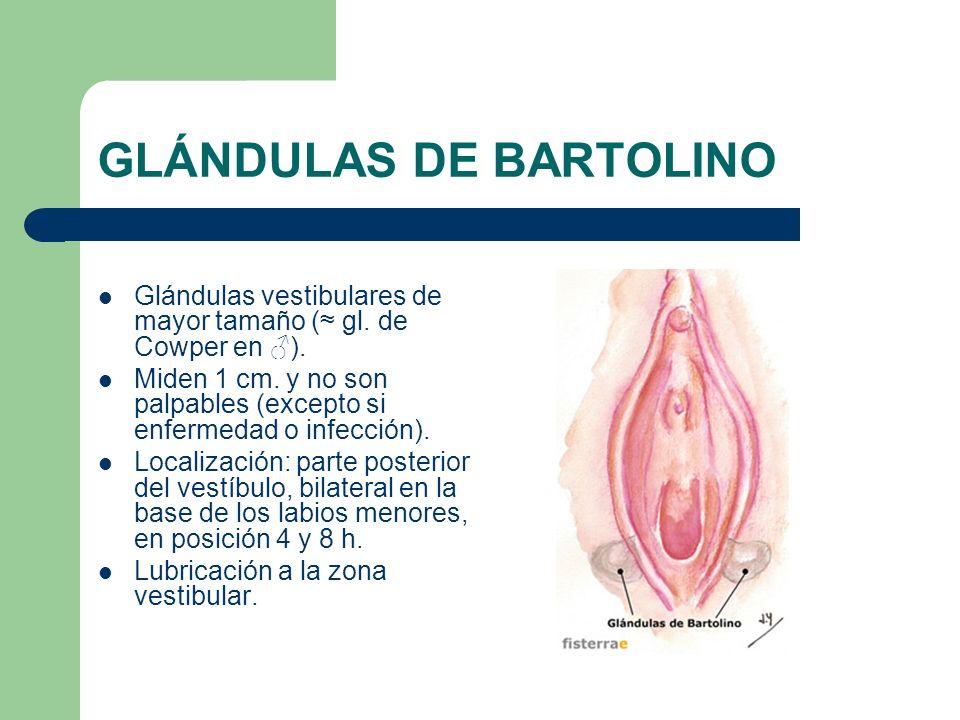 GLÁNDULAS DE BARTOLINO Glándulas vestibulares de mayor tamaño ( gl. de Cowper en ). Miden 1 cm. y no son palpables (excepto si enfermedad o infección)