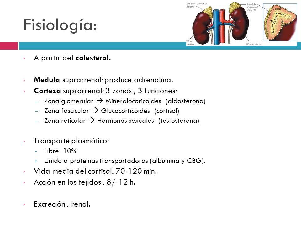Fisiología: A partir del colesterol. Medula suprarrenal: produce adrenalina. Corteza suprarrenal: 3 zonas, 3 funciones: – Zona glomerular Mineralocori