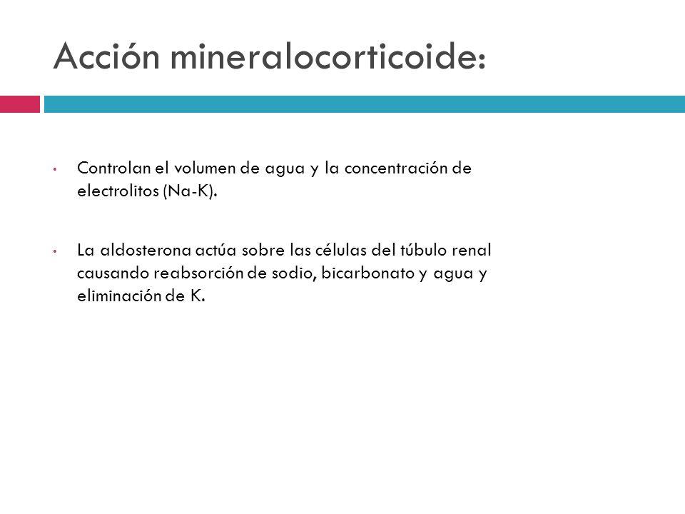 Acción mineralocorticoide: Controlan el volumen de agua y la concentración de electrolitos (Na-K). La aldosterona actúa sobre las células del túbulo r