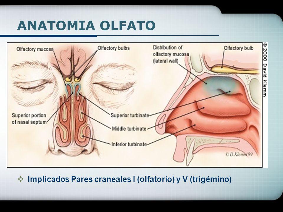 ANATOMIA OLFATO Implicados Pares craneales I (olfatorio) y V (trigémino)