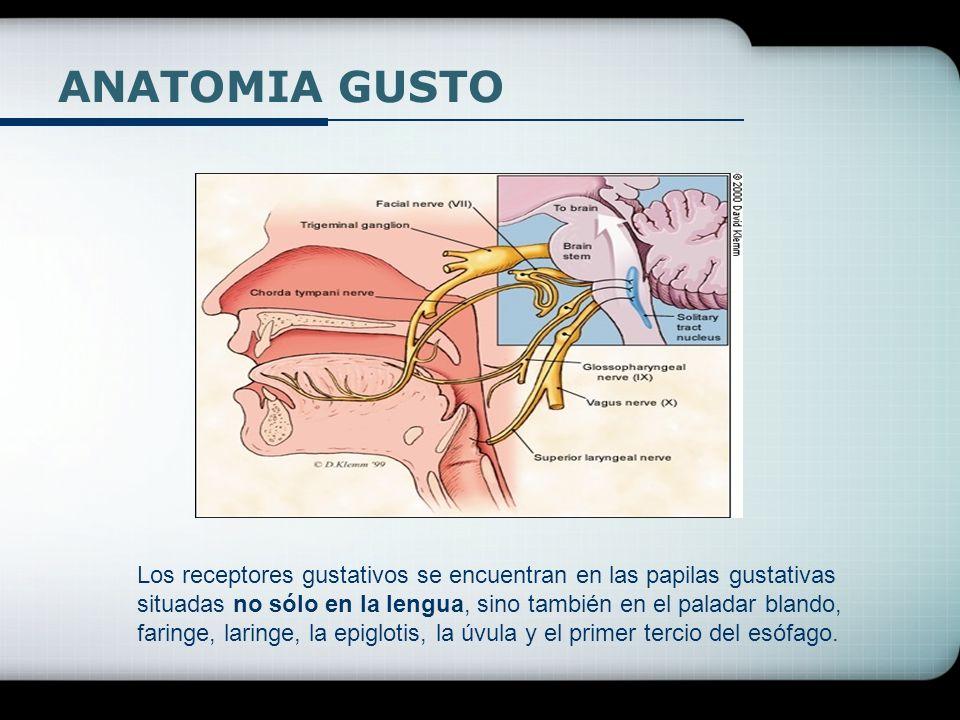 ANATOMIA GUSTO Los receptores gustativos se encuentran en las papilas gustativas situadas no sólo en la lengua, sino también en el paladar blando, far