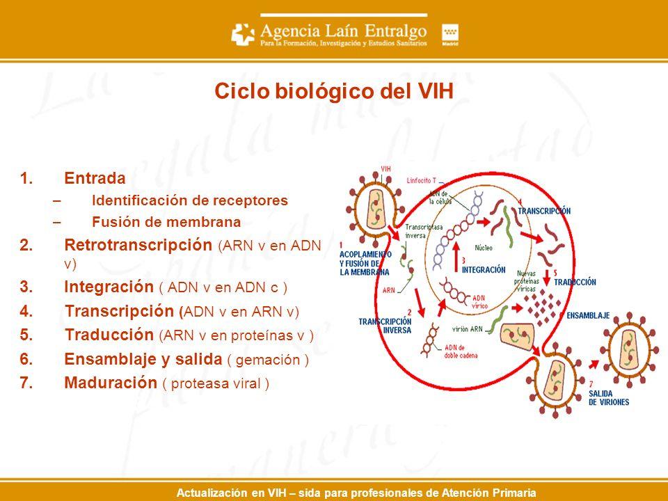 Actualización en VIH – sida para profesionales de Atención Primaria Ciclo biológico del VIH 1.Entrada –Identificación de receptores –Fusión de membrana 2.Retrotranscripción (ARN v en ADN v) 3.Integración ( ADN v en ADN c ) 4.Transcripción (ADN v en ARN v) 5.Traducción (ARN v en proteínas v ) 6.Ensamblaje y salida ( gemación ) 7.Maduración ( proteasa viral )