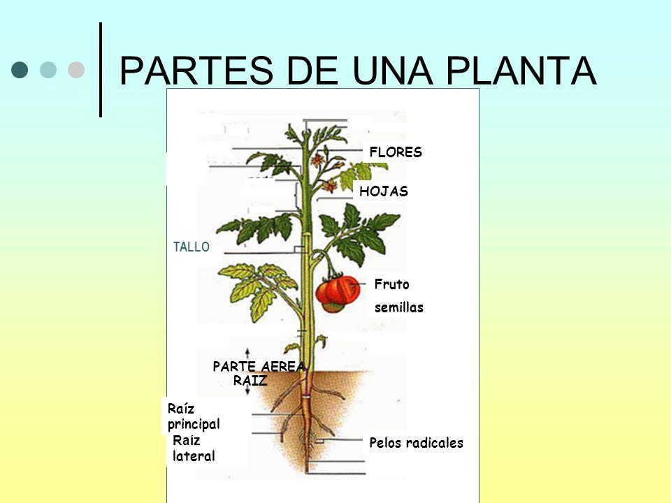 PARTES DE UNA PLANTA Pelos radicales Raíz lateral Raíz principal Fruto semillas HOJAS FLORES RAIZ PARTE AEREA TALLO