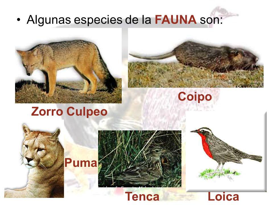 Dentro de la FLORA típica de la zona central están: Palma Chilena Peumo Quillay