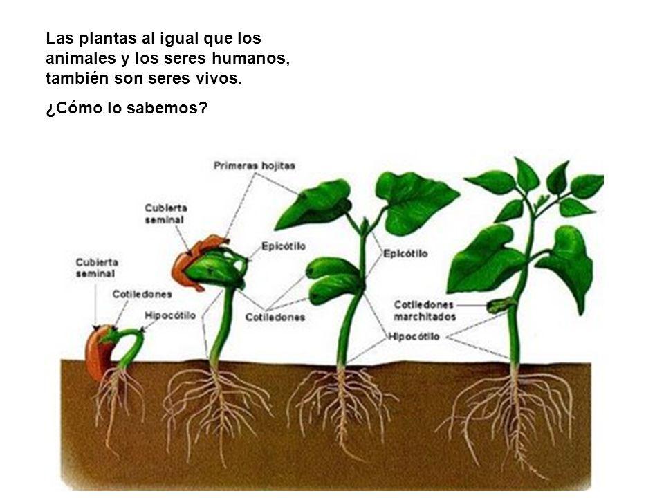 Las plantas al igual que los animales y los seres humanos, también son seres vivos. ¿Cómo lo sabemos?