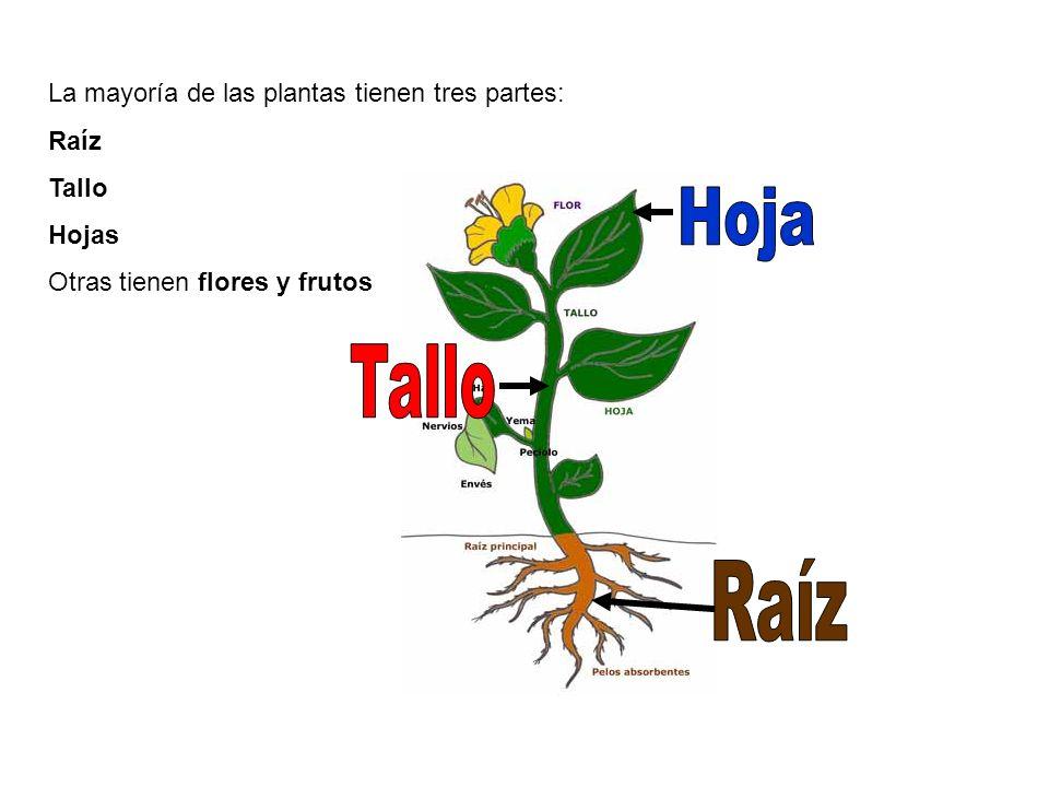 La mayoría de las plantas tienen tres partes: Raíz Tallo Hojas Otras tienen flores y frutos