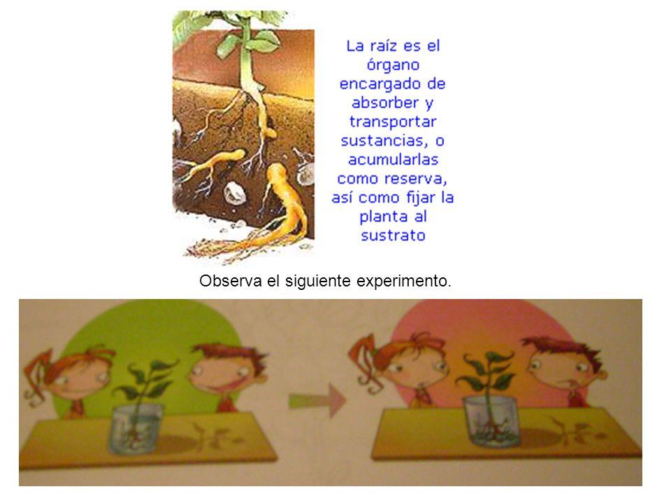 Si sabemos que a través de la raíz las plantas absorben agua y sales minerales para mantenerse viva, ¿Qué pasaría si a una planta le falta una de sus partes principales?