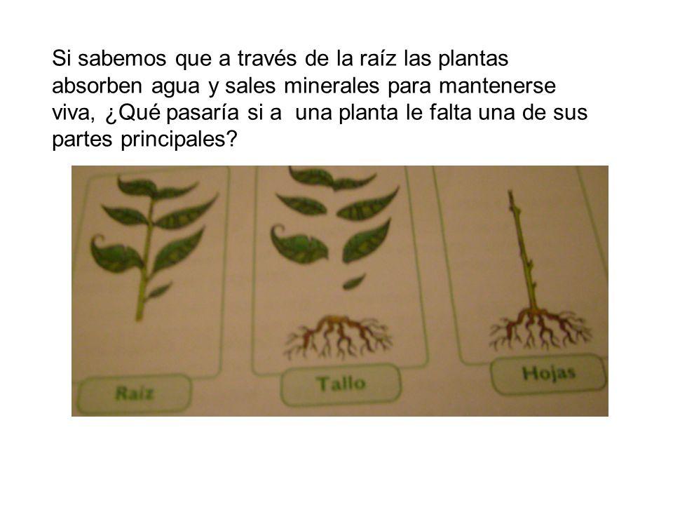 Si sabemos que a través de la raíz las plantas absorben agua y sales minerales para mantenerse viva, ¿Qué pasaría si a una planta le falta una de sus