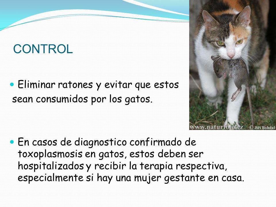 CONTROL Eliminar ratones y evitar que estos sean consumidos por los gatos. En casos de diagnostico confirmado de toxoplasmosis en gatos, estos deben s
