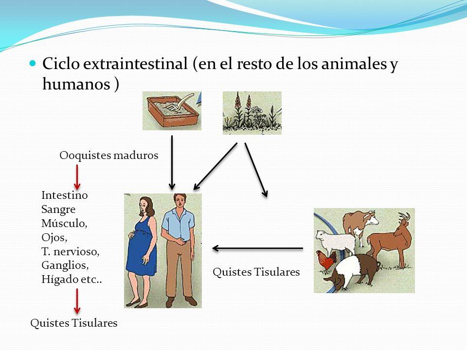 Ciclo extraintestinal (en el resto de los animales y humanos ) Ooquistes maduros Intestino Sangre Músculo, Ojos, T. nervioso, Ganglios, Hígado etc.. Q