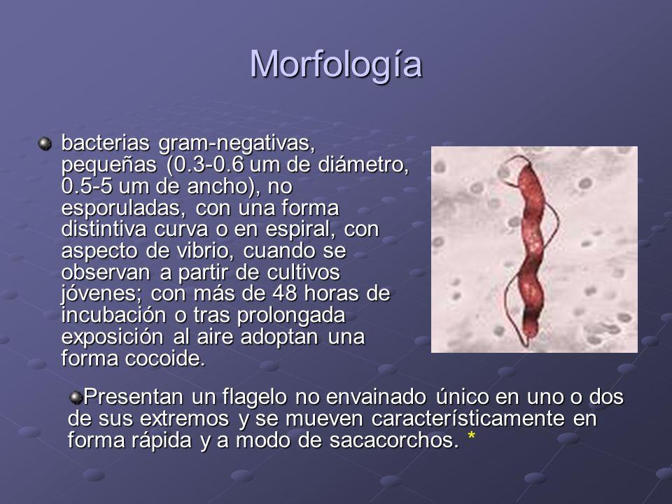 Morfología bacterias gram-negativas, pequeñas (0.3-0.6 um de diámetro, 0.5-5 um de ancho), no esporuladas, con una forma distintiva curva o en espiral, con aspecto de vibrio, cuando se observan a partir de cultivos jóvenes; con más de 48 horas de incubación o tras prolongada exposición al aire adoptan una forma cocoide.