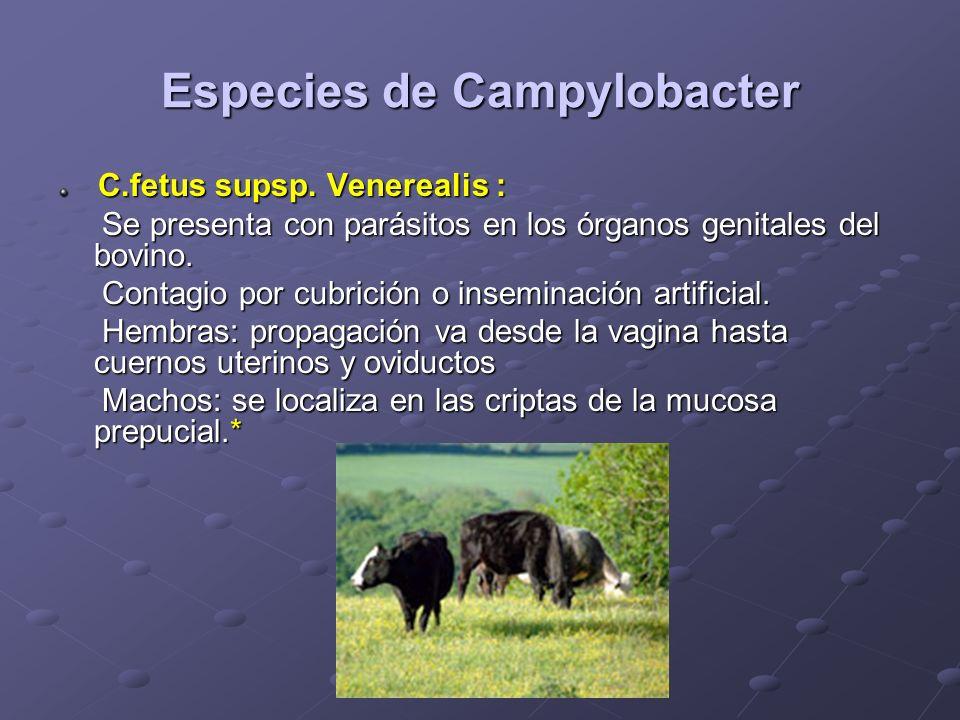 Especies de Campylobacter C.fetus supsp. Venerealis : C.fetus supsp. Venerealis : Se presenta con parásitos en los órganos genitales del bovino. Se pr
