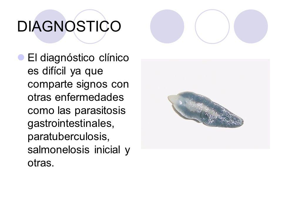DIAGNOSTICO El diagnóstico clínico es difícil ya que comparte signos con otras enfermedades como las parasitosis gastrointestinales, paratuberculosis,