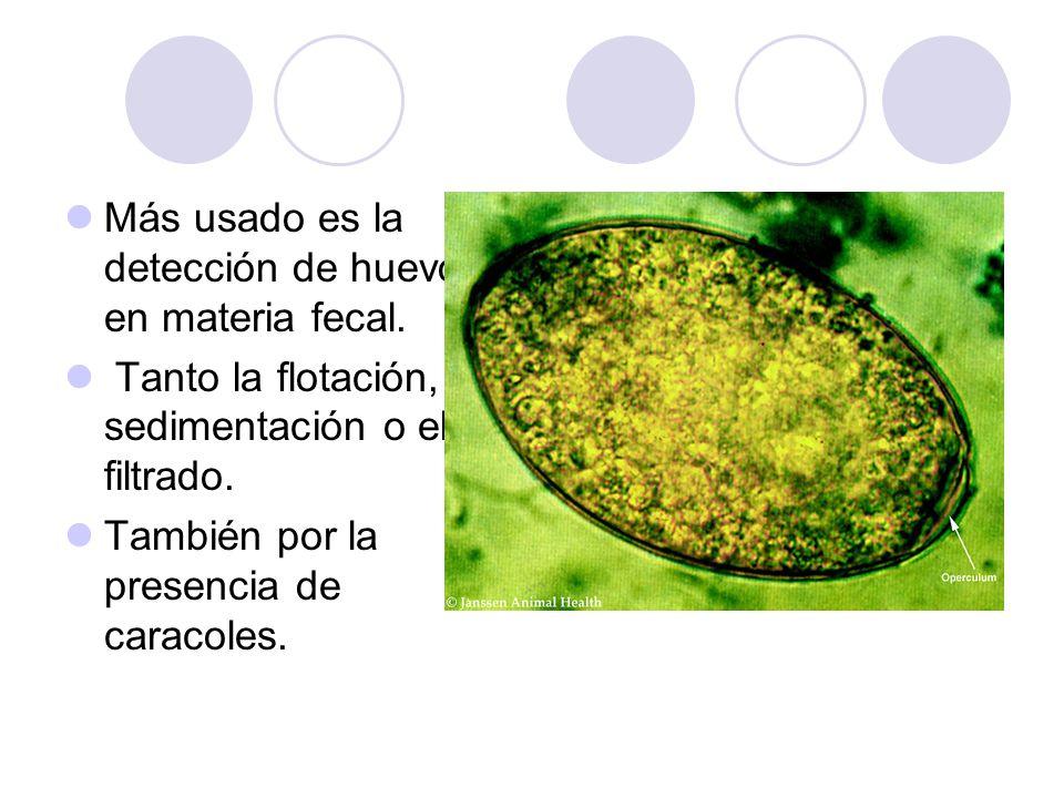 Más usado es la detección de huevos en materia fecal. Tanto la flotación, sedimentación o el de filtrado. También por la presencia de caracoles.