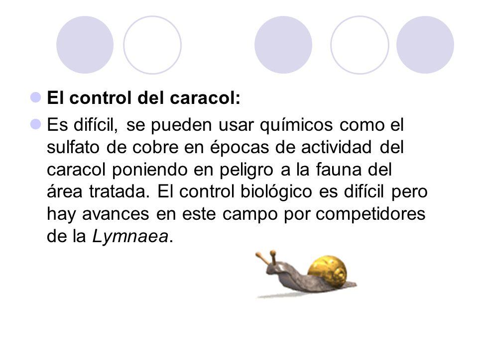 El control del caracol: Es difícil, se pueden usar químicos como el sulfato de cobre en épocas de actividad del caracol poniendo en peligro a la fauna