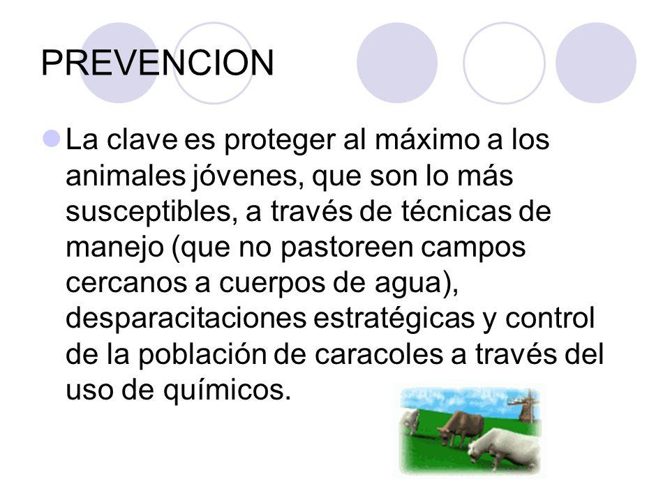 PREVENCION La clave es proteger al máximo a los animales jóvenes, que son lo más susceptibles, a través de técnicas de manejo (que no pastoreen campos