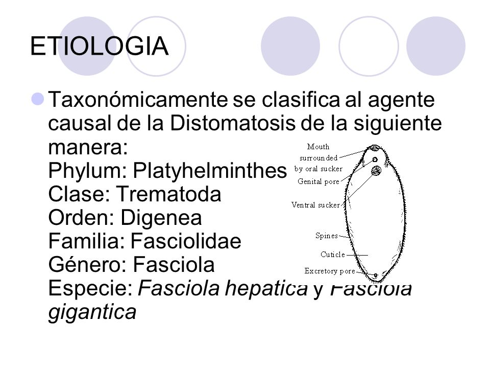 ETIOLOGIA Taxonómicamente se clasifica al agente causal de la Distomatosis de la siguiente manera: Phylum: Platyhelminthes Clase: Trematoda Orden: Dig