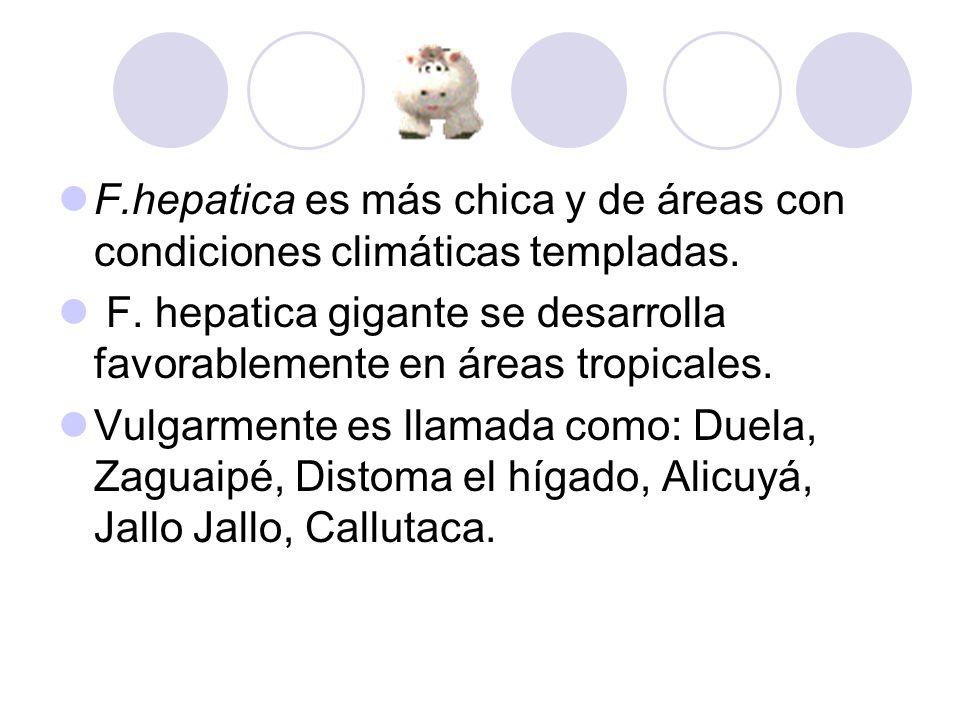 F.hepatica es más chica y de áreas con condiciones climáticas templadas. F. hepatica gigante se desarrolla favorablemente en áreas tropicales. Vulgarm