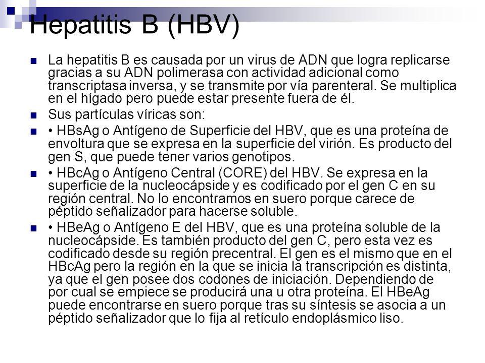 Hepatitis B (HBV) La hepatitis B es causada por un virus de ADN que logra replicarse gracias a su ADN polimerasa con actividad adicional como transcri