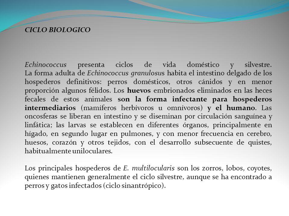 CICLO BIOLOGICO Echinococcus presenta ciclos de vida doméstico y silvestre. La forma adulta de Echinococcus granulosus habita el intestino delgado de
