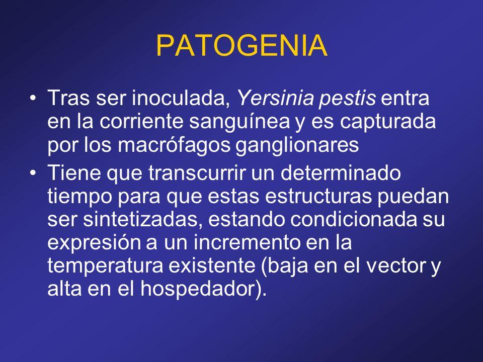 PATOGENIA Tras ser inoculada, Yersinia pestis entra en la corriente sanguínea y es capturada por los macrófagos ganglionares Tiene que transcurrir un