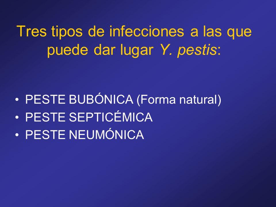 Tres tipos de infecciones a las que puede dar lugar Y. pestis: PESTE BUBÓNICA (Forma natural) PESTE SEPTICÉMICA PESTE NEUMÓNICA