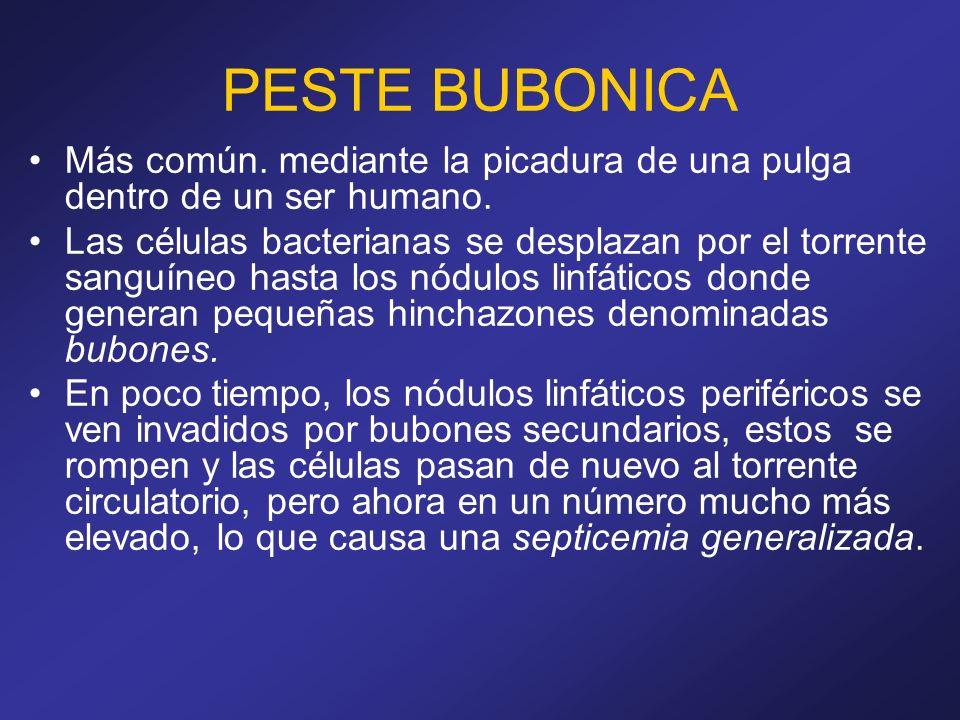 PESTE BUBONICA Más común. mediante la picadura de una pulga dentro de un ser humano. Las células bacterianas se desplazan por el torrente sanguíneo ha