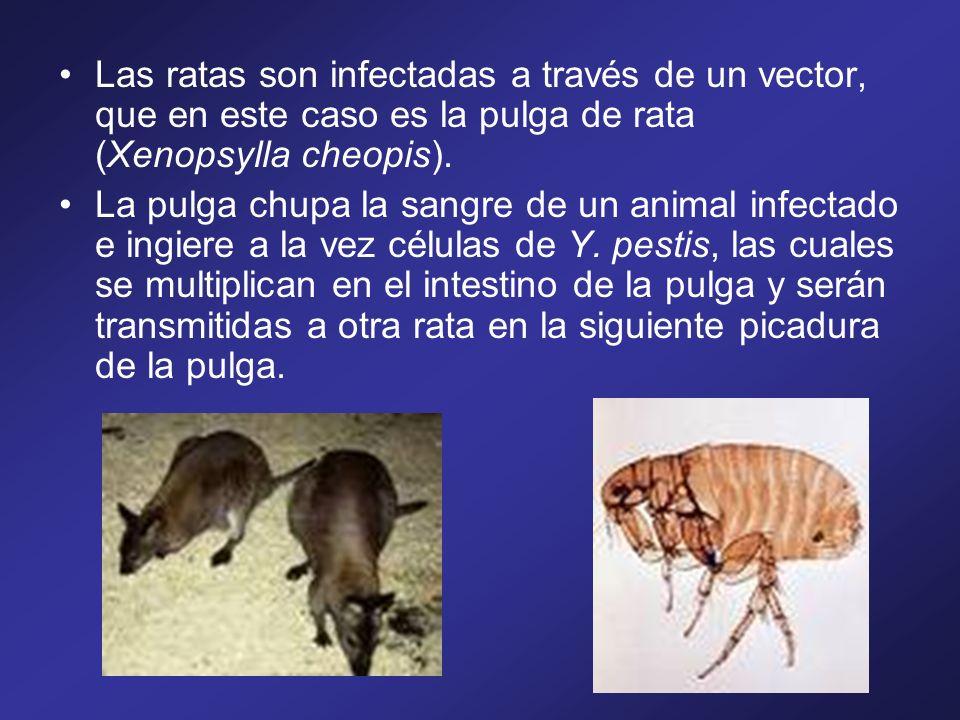 La peste es transmitida por la picadura de la pulga oriental de la rata, Xenopsylla Cheopis, La pulga introduce miles de bacilos en la piel, que emigran a través de los vasos linfáticos hasta los ganglios linfáticos regionales, donde se multiplican causando la destrucción y necrosis (muerte de un tejido) de la estructura ganglionar.