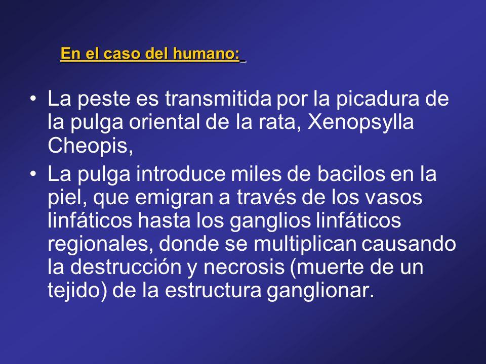 La peste es transmitida por la picadura de la pulga oriental de la rata, Xenopsylla Cheopis, La pulga introduce miles de bacilos en la piel, que emigr