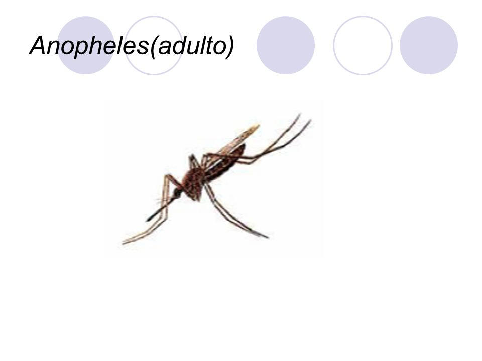 Anopheles(adulto)
