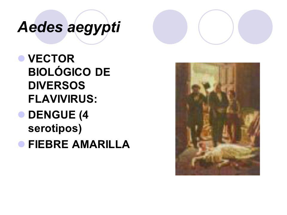Aedes aegypti VECTOR BIOLÓGICO DE DIVERSOS FLAVIVIRUS: DENGUE (4 serotipos) FIEBRE AMARILLA