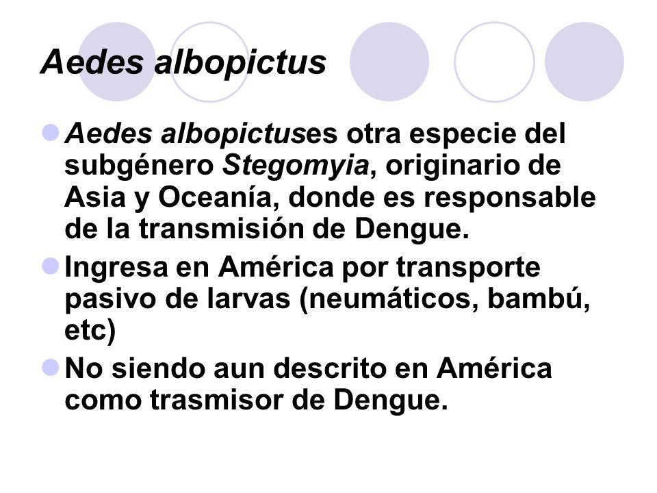 Aedes albopictus Aedes albopictuses otra especie del subgénero Stegomyia, originario de Asia y Oceanía, donde es responsable de la transmisión de Deng
