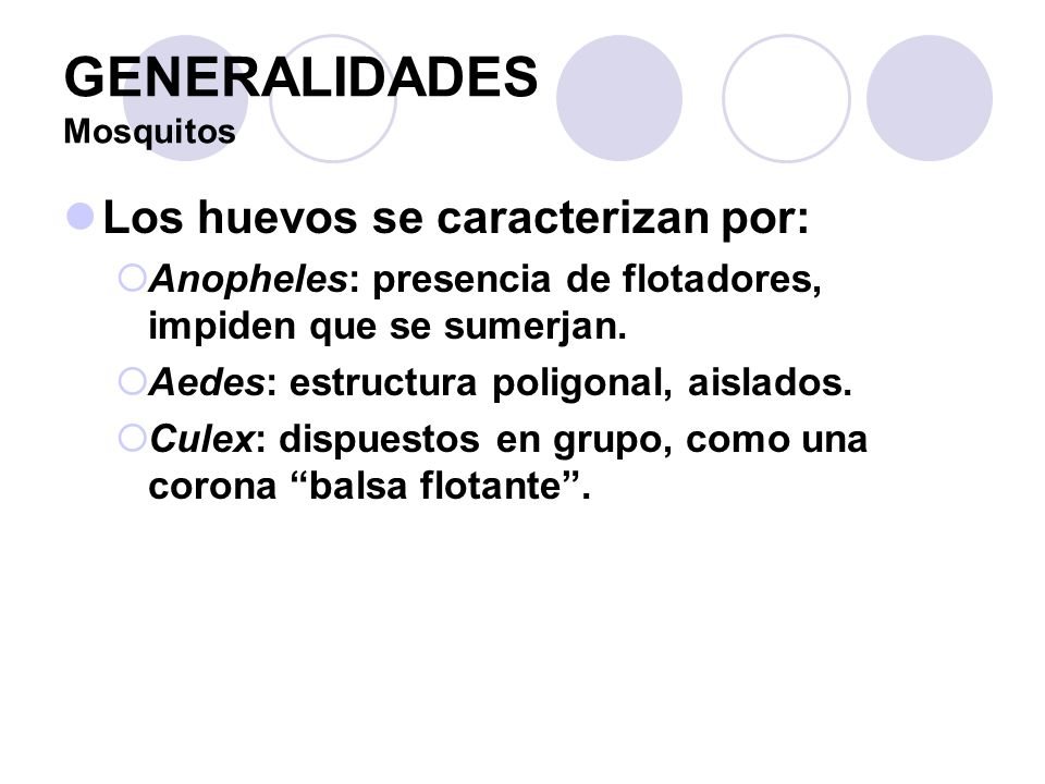 Aedes aegypti LARVAS