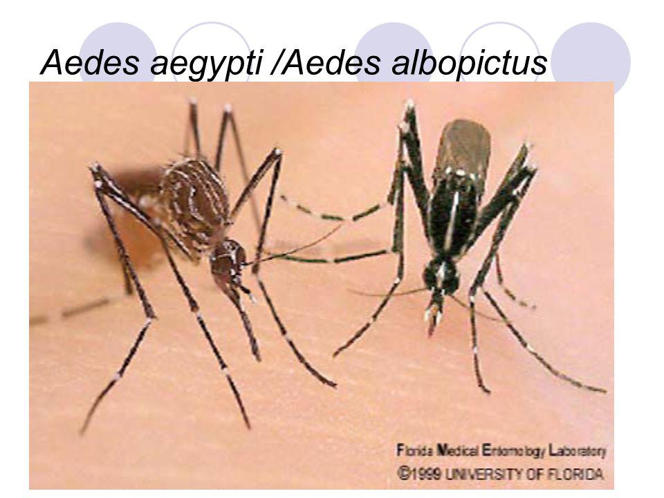 Aedes aegypti /Aedes albopictus